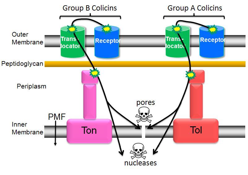 Colicins parasitize E. coli cell envelope proteins